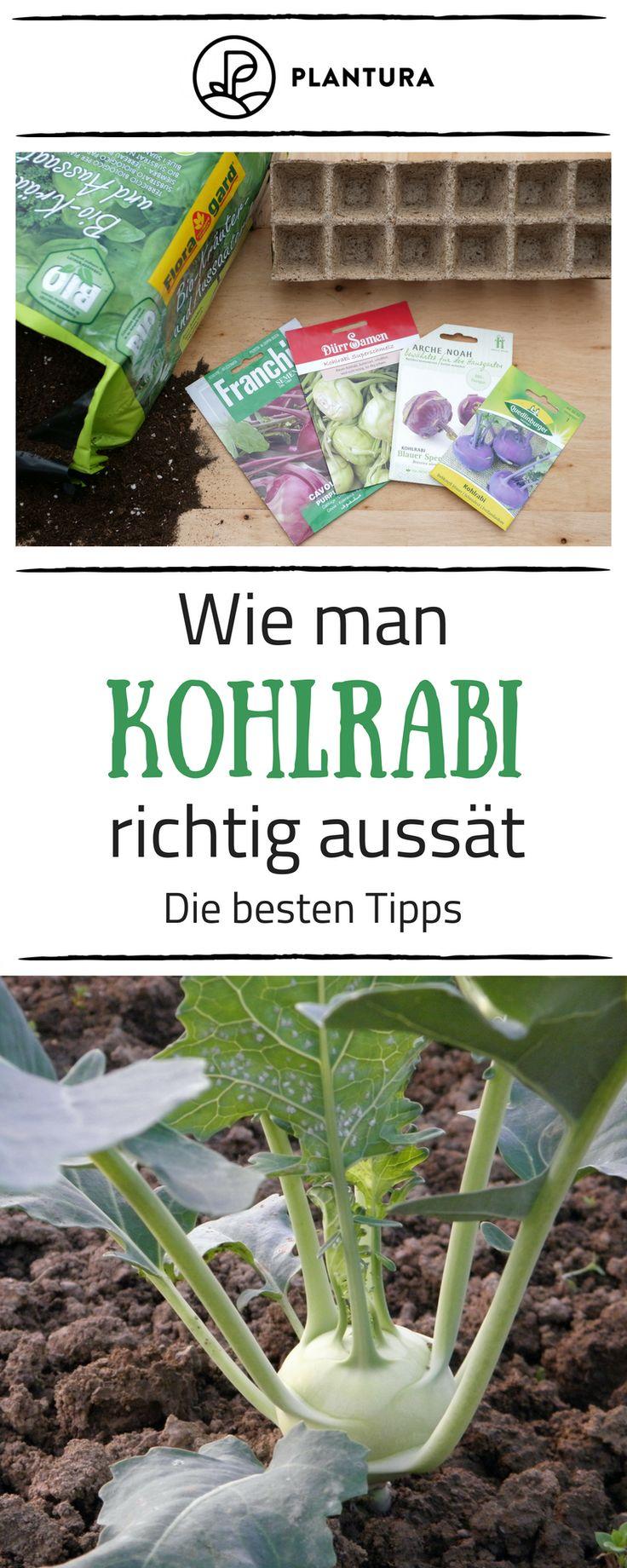 Kohlrabi pflanzen: Kohlrabi im eigenen Garten anbauen