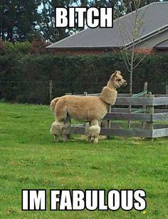 LLAMAS on Pinterest | Llamas, Alpacas and Funny Llama