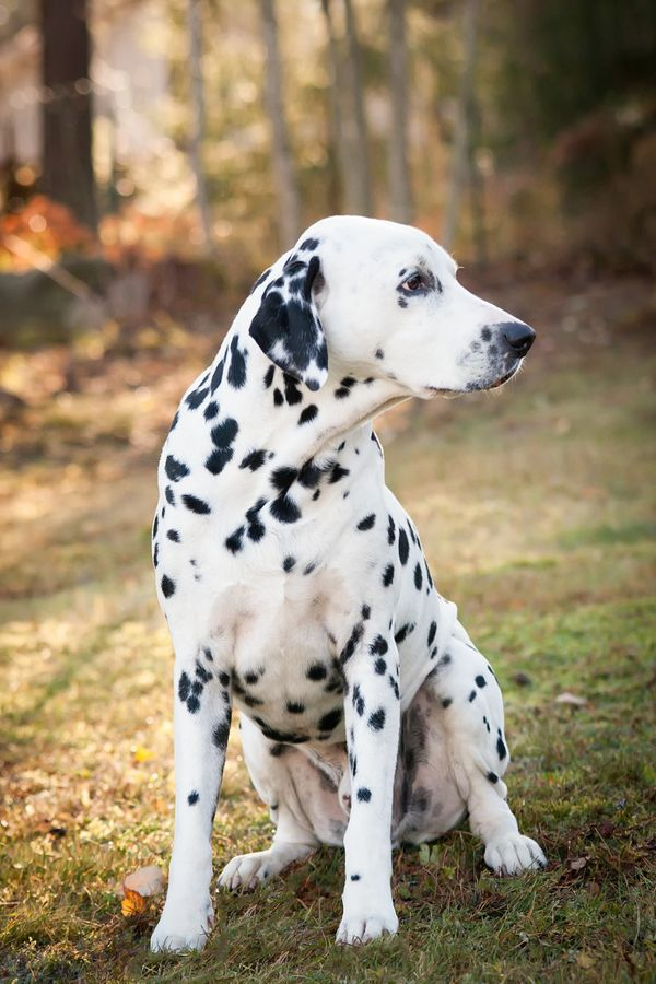 Dalmatian -- Look to see if your favorite pup with be featured as a new spirit hood. Only at www.spirithoods.com!