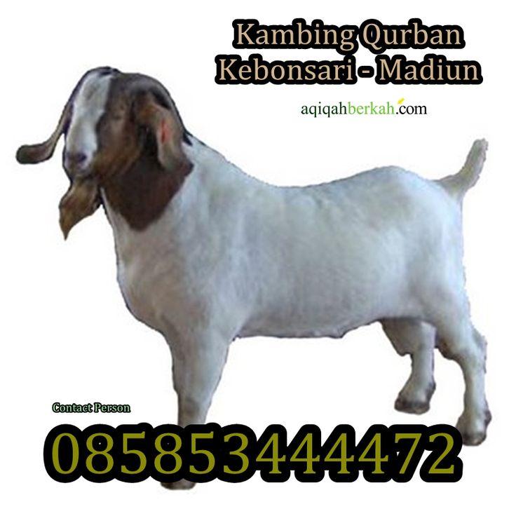 Kambing Qurban Kebonsari Madiun  http://www.qurban-aqiqah.com/kambing-qurban-di-kebonsari-madiun.html