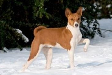 Red and White Basenji on snow.
