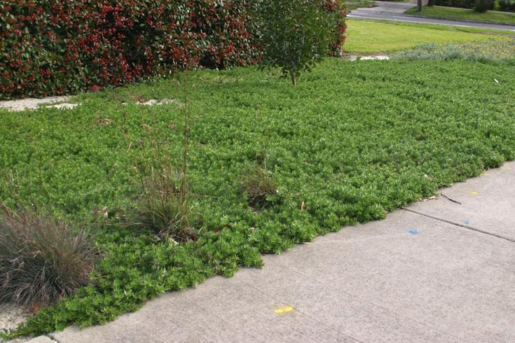 creeping boobialla; myoporum parvifolium -