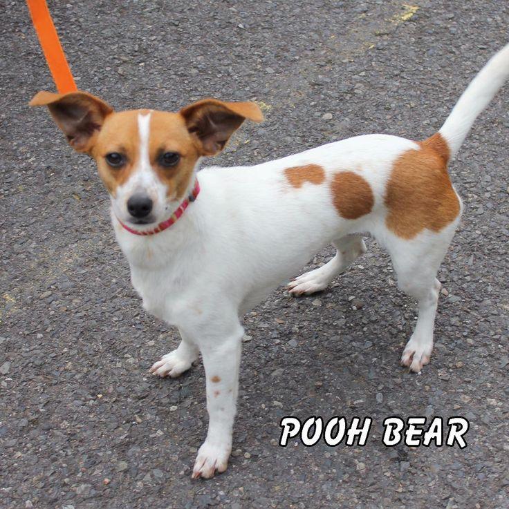 Jack Chi dog for Adoption in Hot Springs Village, AR. ADN-444845 on PuppyFinder.com Gender: Female. Age: Young