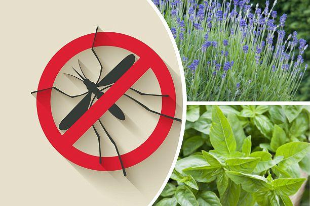 Комары заели? Не удивительно, сейчас очередная волна их активности. Многие не любят готовые средства от насекомых, а у многие и аллергия. На помощь придут растения, которые отпугивают комаров :)