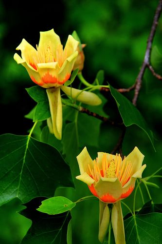 Tulip Poplar Tree.   I saw this tree when I went to Blarney Castle while on vacation in Ireland. Big tree with flowers as big as my cupped hand!