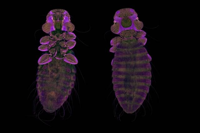 2012 PHOTOMICROGRAPHY COMPETITION  Györgyi Zséli  Institute of Experimental Medicine of the Hungarian Academy of Sciences  Department of Integrative Neuroendocrinology  Budapest, Hungary    Subject Matter:  Chewing lice of common buzzard (Colpocephalum platystomus) (10x)  Technique:  Confocal , Autofluorescence