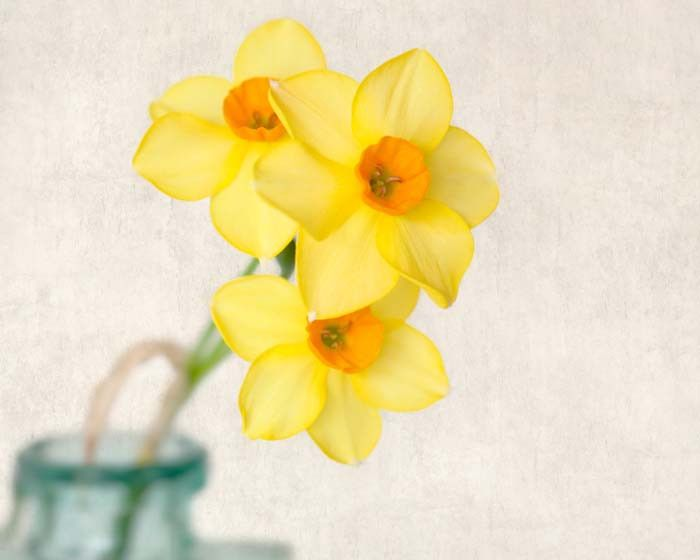 "Fine Art Flower Photography Print """"Yellow Daffodils No. 9"""""