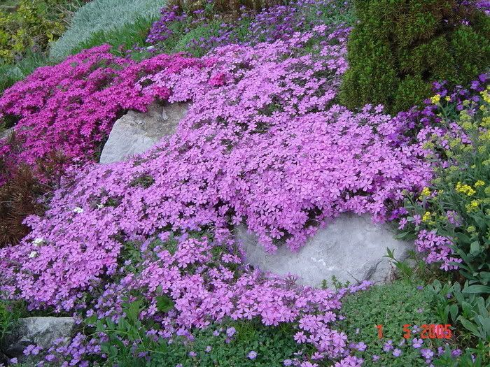 creeping flowersFront Gardens, Gardens Ideas, Spring Flower, Phlox Subulata, Rocks Gardens, Ground Covers, Front Yards, Flower Gardens, Creeping Phlox