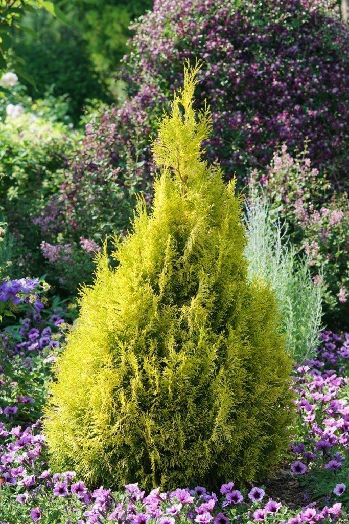 Fluffy Western Arborvitae Thuja Plicata Shrubs Arborvitae Plants