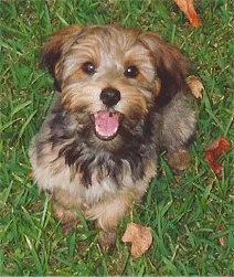 #yorkiepoo #dogs #cute - Yorkshire Terrier / Poodle mix