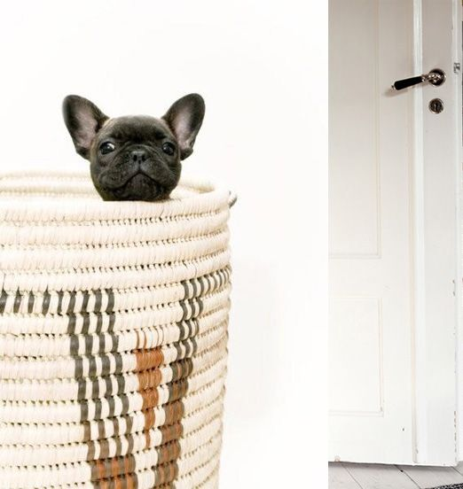frenchie cuteness.