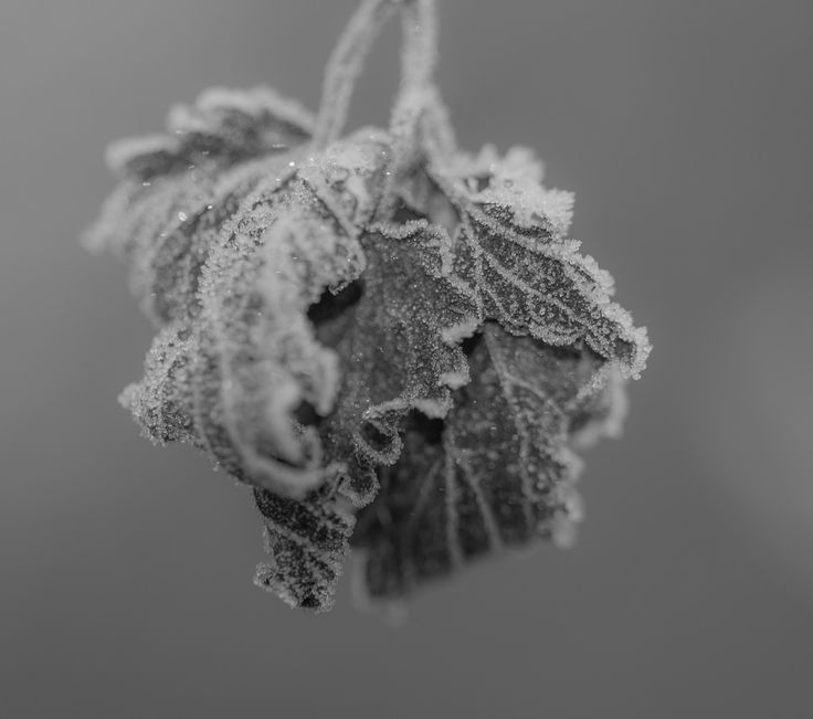 The frost on the dead leaf makes it so wonderful