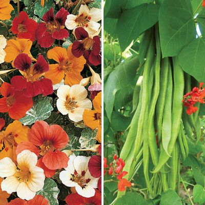 Aphids love runner beans, so if you plant nasturtiums next to your beans as a 'sacrificial crop', you're more likely to be able to eat the beans yourself!