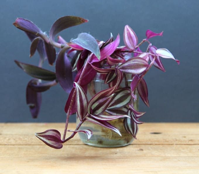 Tradescantia zebrina | Wandering Jew & 7. Tradescantia pallida | Purple Heart