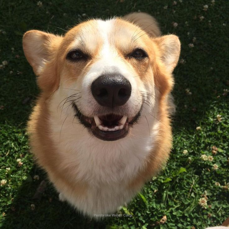 love Pembroke Welsh Corgi so much. #PembrokeWelshCorgi #dogs