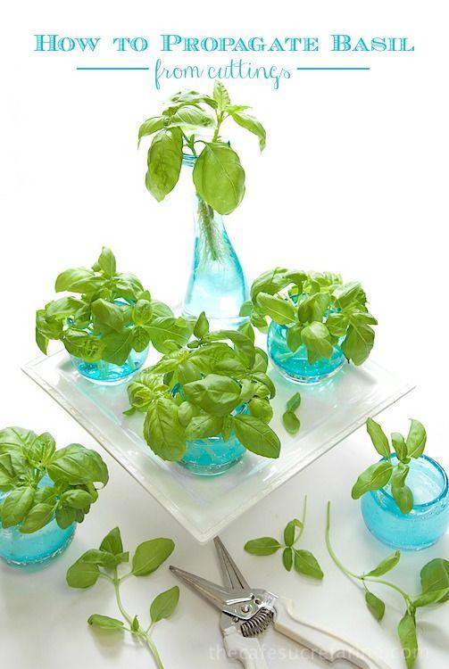 Comment Propager Basil à partir de boutures - super simple!  Acheter une plante et se retrouver avec une douzaine ou plus de nouvelles usines, qui n'a pas besoin de beaucoup de basilic?  et ceux-ci sont un cadeau parfait pour les amis gourmands!