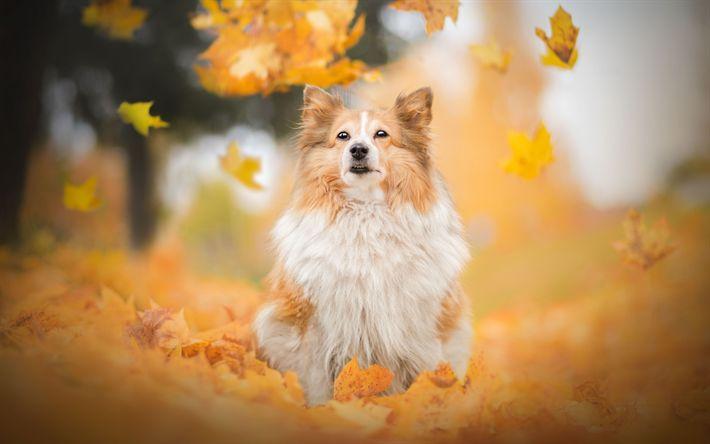 Download wallpapers Dog, Scottish Shepherd Dog, Sheltie, pets, dogs