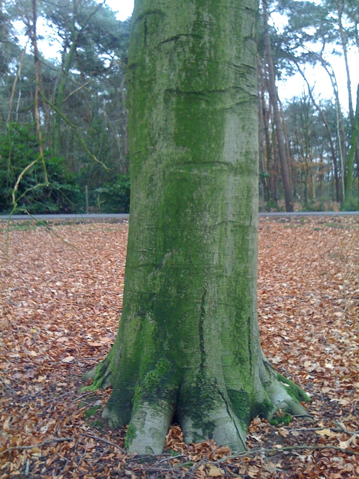 The beech that absorbs all your worries: Absorbed, Trees, Beech, Worry