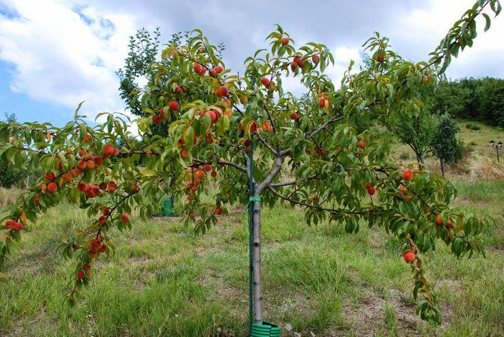 Персик — выращивание и уход. Посадка, размножение, защита. Сорта для различных регионов. Фото - Ботаничка.ru