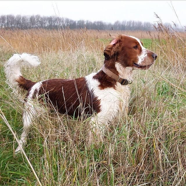 Welsh Springer Spaniel Jagthund 51 cm.