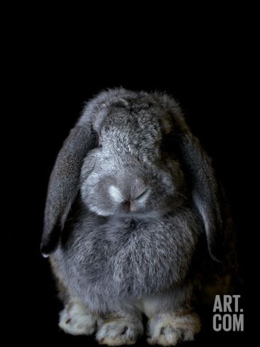 A French Lop Rabbit at the Indiana State Fair Photographic Print by Vincent J. Musi at Art.com