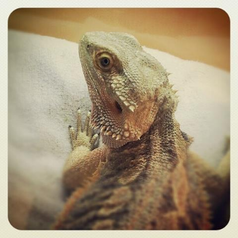 This is Kinky, our bearded dragon.