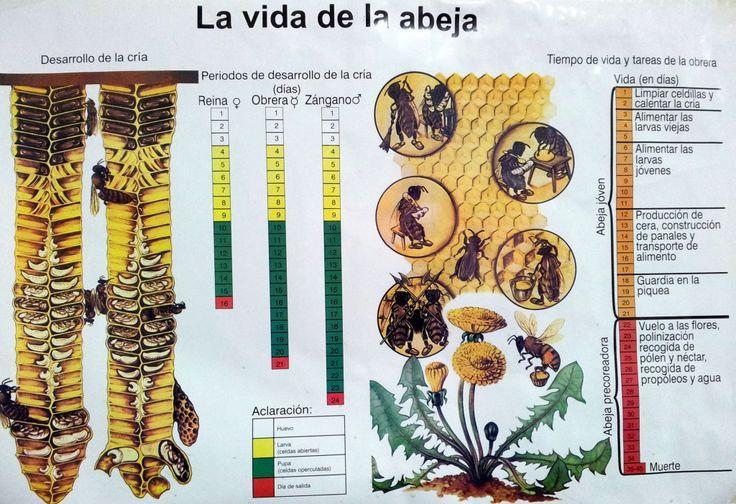 Abejas... y la apicultura   Ecocolmena