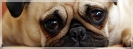 Kennel cough is very common for dogs. It can last anywhere from a few days to a few months!