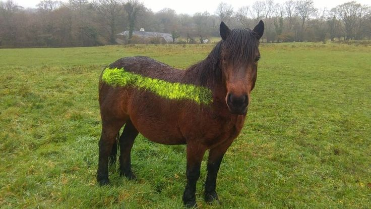 "Reflective paint, which could ""save hundreds"" of Dartmoor's livestock from being killed by vehicles, is put on ponies after an initial trial is deemed a success."