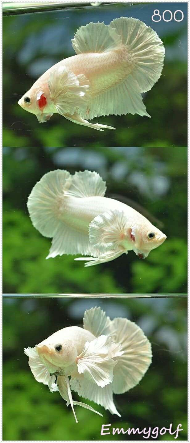 1000 ideas about small fish tanks on pinterest fish for Freshwater fish representative species