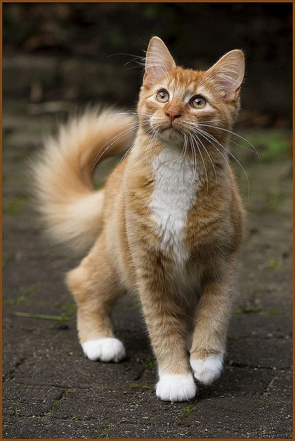 Best Red Cat Ideas On Pinterest Orange Cats Ginger Cats And - The internet has fallen in love with zo the cat that wears her heart on her chest