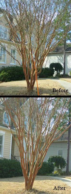 Crepe Myrtle Pruning Step-by-Step. Excellent information.