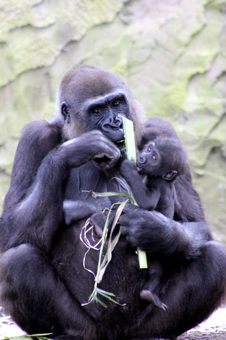 Fabumi is a little young for solid foods, but that didn't stop him having a curious lick of mum's lunch today. An adult male Gorilla will eat up to 18kgs of vegetation each day!