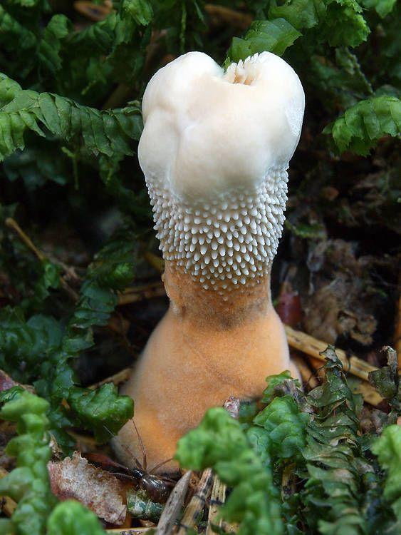It looks like a tooth :) | Hydnellum floriforme. fungus
