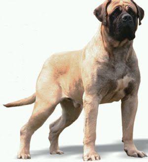 O mastiff inglês  ou simplesmente mastiff  (em inglês : English Mastiff ) é considerado uma raça de cães   tradicionalmente inglesa . Seu a...