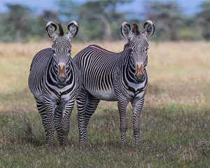 The Endangered Grevy's Zebra #Kenya #safari