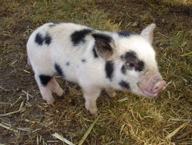 Adult mini potbelly pig - photo#22