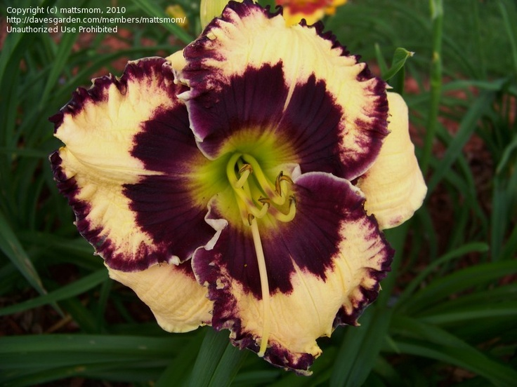 17 Best Images About Daylily On Pinterest