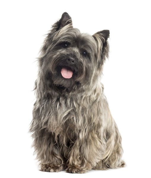 Cairn Terrier Puppies for Sale Breed Group: Terrier Height: 9 to 10