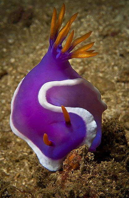theoceaniswonderful:  Nudibranch by Macdaza