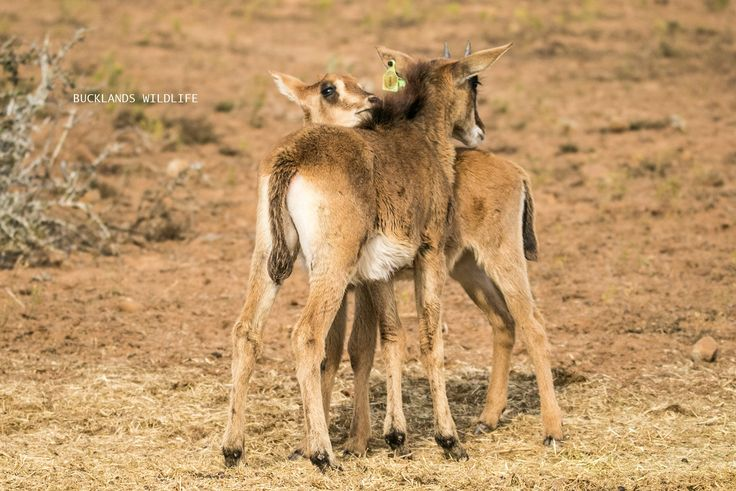 How cuuuute are these two Sable calves head rubbing and sniffing one another? #photography #bucklandsprivategamereserve  #sable #sablebreeding #sablecalves #bucklandswildlife #africa #southafrica