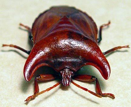 Amissus testaceus Strange Bull Horn Pronotum Beetle