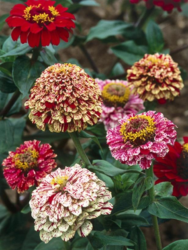 """Zinnia """"Peppermint Stick"""" easy from seed: Peppermint Sticks, Garden..."""