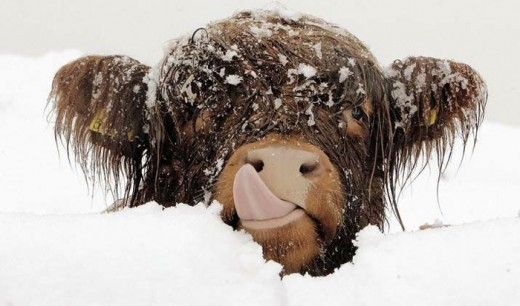 Cow Picture in Snow FallingHighlands Cows, Winter Pictures, Snow Cones, Scottish Highlands, Funny Animal Pictures, Funny Pictures, Things, Holy Cows, Animal Funny