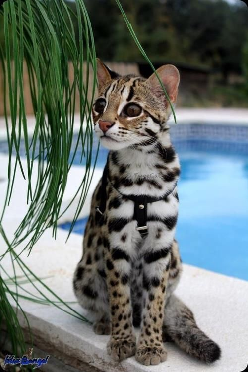 Leopard cat (Prionailurus bengalensis) is a small wild cat of South and East Asia. Keeping one as a pet requires a license in most places. It often mates with a domestic cat to produce hybrid offspring known as a Bengal cat. These hybrids are usually permitted to be kept as pets without a license.