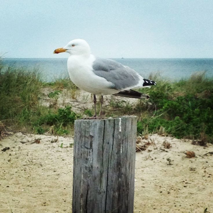 Seagull In Hyannis, Cape Cod, MA