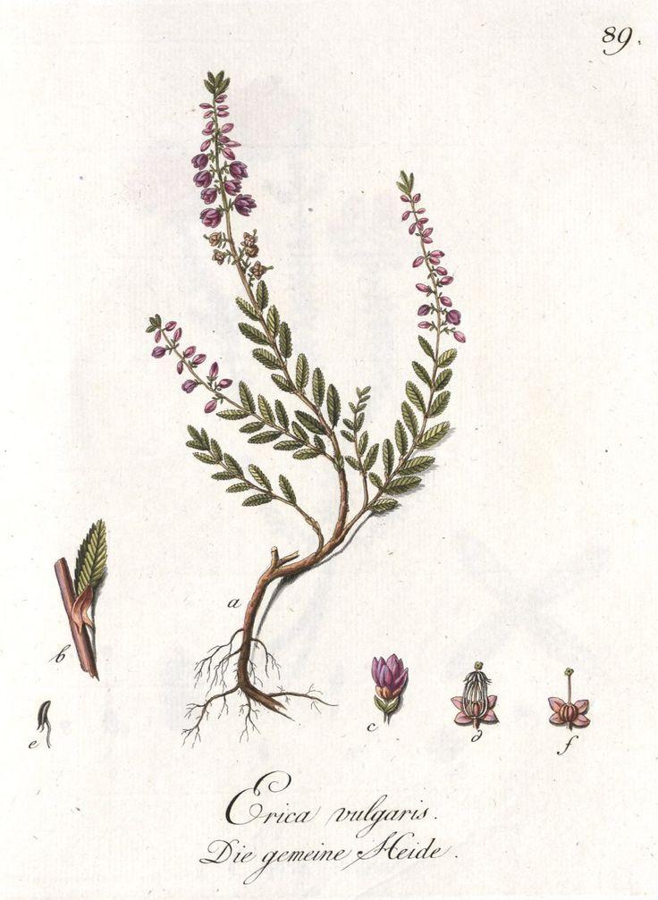 Calluna vulgaris heather botanical print