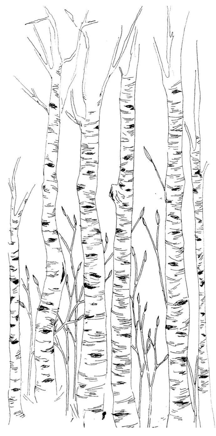 Birch trees in the winter stock photo image 2170700 - Birch Trees Illustration By Eleanorgoetz On Etsy Https Www Etsy Com