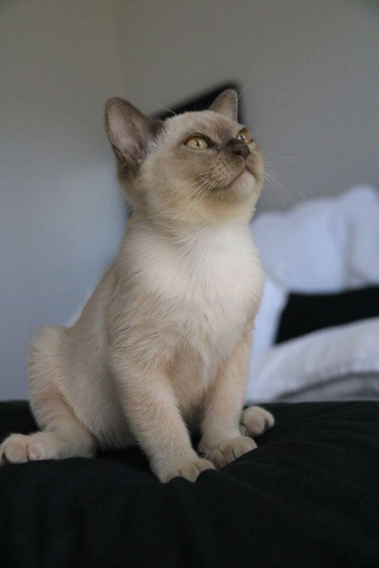 13 best Villanev Pedigree Burmese Cats images on Pinterest | Cat ...