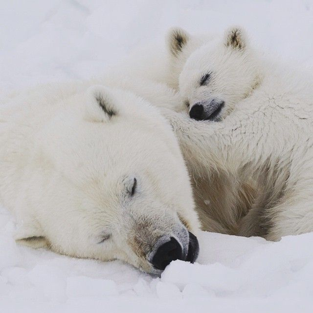 """Photograph by @mattiasklumofficial A female polar bear and her cubs take a well deserved snooze after devouring a bearded seal. Please go to @mattiasklumofficial to find them awake. Polar bears nap almost anywhere and any time, especially after feeding on a seal. This time of year sun never really sets in Svalbard. However light is softer and even more gorgeous at night. I usually choose to work """"night shift"""" also since the polar bears (and other species) tend to be more active during night…"""